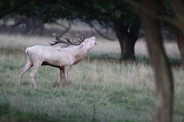 Obraz na płótnie Canvas Red deer - Rutting season