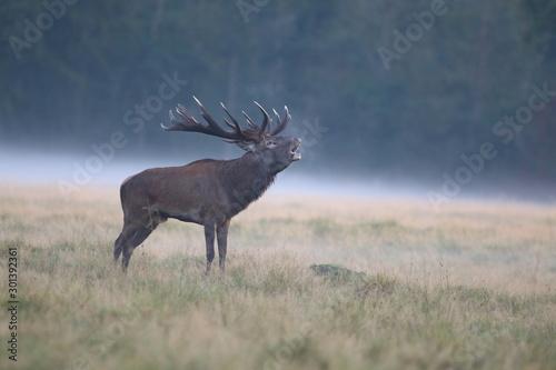 Spoed Fotobehang Antilope Red deer - Rutting season