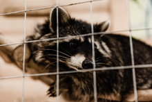 Selective Focus Of Cute Raccoon Near Cage In Zoo