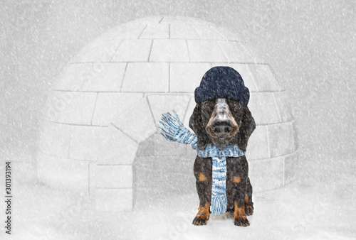 Papiers peints Chien de Crazy freezing icy dog in snow and igloo