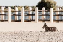 Striped Zebra Lying On Sand Ne...