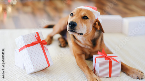 Obraz Adorable dog with gifts celebrating Christmas at home. - fototapety do salonu