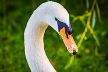 Mute Swan (Cygnus Olor) Portrait - Swan's Head Close Up With Grass On The Beak