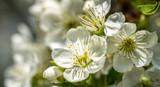 Fototapeta Kwiaty - Blooming cherry spring garden. Delicate flowers of the cherry tree
