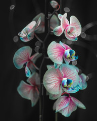 orchid on black background