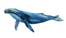 Watercolor Illustration Of Blue Whale