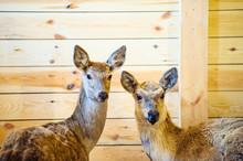 Large White-tailed Deer Doe