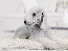 Lovely Bedlington Terrier Dog ...