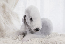 A Thoroughbred Bedlington Terr...