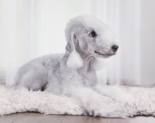 Cute Bedlington Terrier Dog Ly...