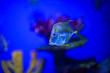 canvas print picture - tropical colorful sea fish