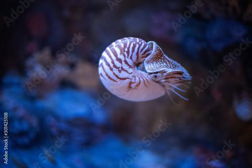 Nautilus swimming in an aquarium Canvas-taulu