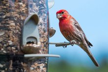 Male House Finch (Haemorhous M...