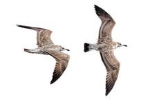 Zwei Fliegende Möwen, Freigestellt