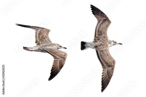 Poster Noordzee zwei fliegende Möwen, freigestellt