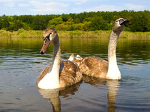 Two Young Birds Trumpeter Swan