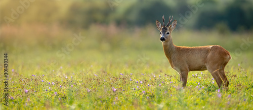 Poster de jardin Roe Wide panoramic banner of roe deer, capreolus capreolus, buck standing on a meadow in summer at sunset. Wild animal in nature with sun rays shining. Wildlife scenery from nature with copy space.