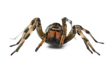 Giant Hairy Spider Isolated On...