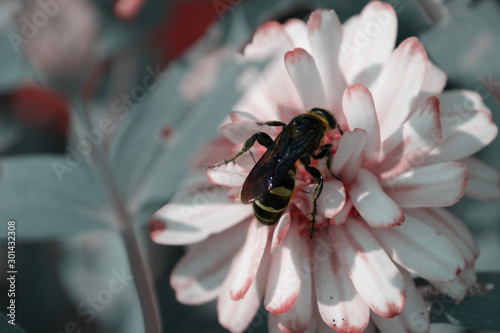 Bee on Pink Daisy Flower  collecting nectar in Mercer Arboretum and Botanical Ga Wallpaper Mural