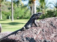 Beautiful Iguana Sunbathing On...