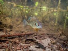Pumpkinseed Sunfish Swimming W...