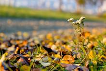 Milfoil Detail In Autumn