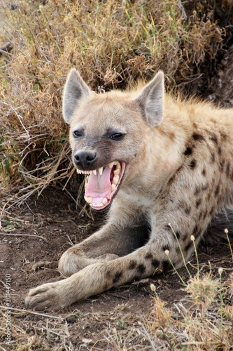 Wild hyena showing teeth in Serengeti Fototapet