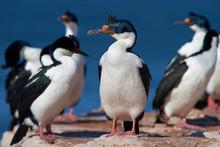 Imperial Shag (Phalacrocorax Atriceps Albiventer) On The Coast Of Bleaker Island On The Falkland Islands
