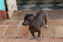 Mexican Hairless Dog , Cuba