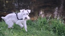 Schnauzer At The Waters Edge