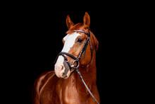 Beautiful Chestnut Sport Horse Portrait On Black