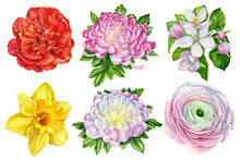 Set Of Flowers From Narcissus, Ranunculus, Apple Flowers, Chrysanthemum, Tulip On An Isolated White Background, Watercolor, Hand-drawing, Botanical Painting