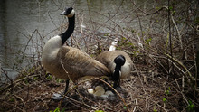 Canada Goose (Branta Canadensis). Male And Female Goose On A Nest With Eggs On An Island Among Trees, New Jersey USA