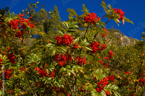 Mountain Ash berries are used to make medicine, the berries can be used fresh, dried or cooked Wallpaper Mural