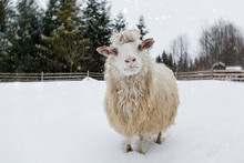 Sheep On A Farm In A Snowy For...