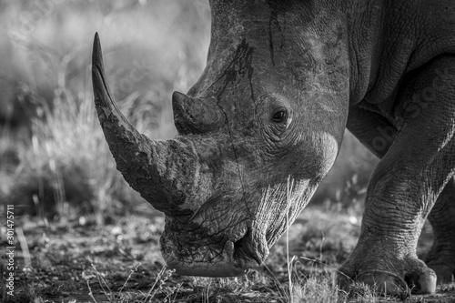 Fotografija  Close up of a White rhino head.