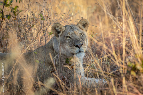 Fototapety, obrazy: Lioness laying in the grass in the bush.