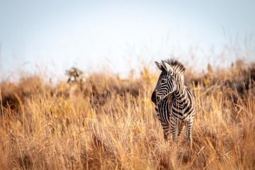 Young Zebra standing in the high grass.
