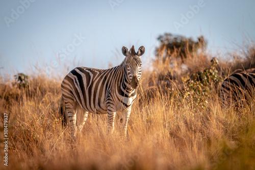Fotomural  Zebra standing in the grass in the bush.