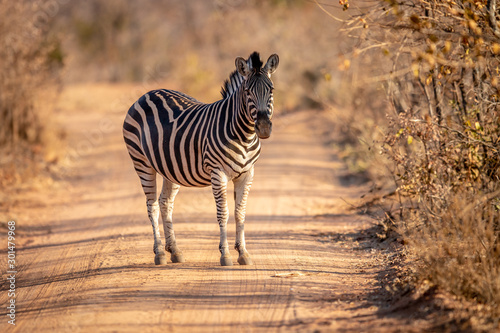 Fotografía Zebra standing in the middle of a bush road.