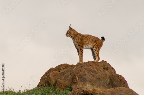 Fotografía a boreal lynx resting in its territory