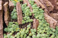 Small Sedum Plants Cover, Top View
