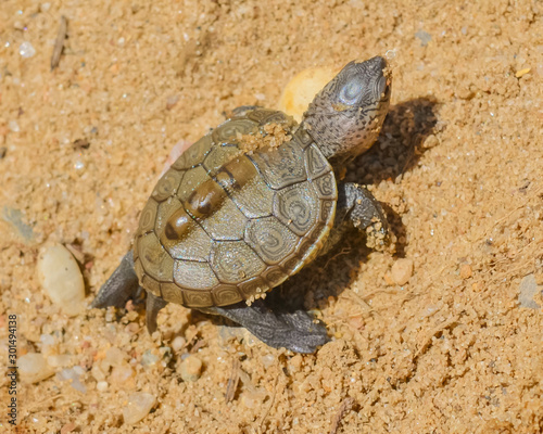 Poster Tortue Diamondback terrapin baby takes its first steps toward the tide water. Closeup.