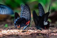 The Happiness Of Black Butterfly