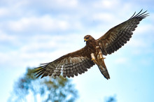 An Eagle With Open Wings Flies Over The Forest