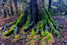 The Massive Roots Of The Tree ...