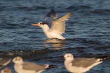 The Royal Tern (Sterna Maxima)swimming In The Ocean, Galveston, Texas, USA