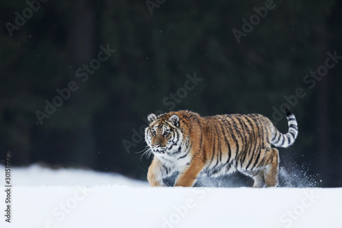 Photo Siberian Tiger running