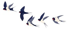 The Flying Swallows Set Is Isolated. Color Vector Drawing.
