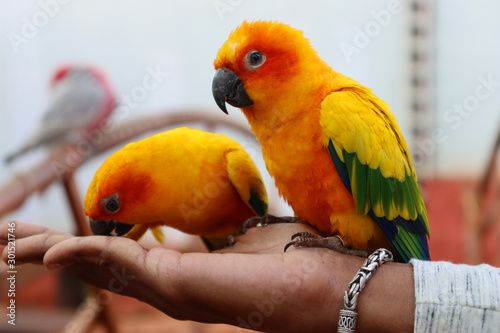 Foto op Plexiglas Papegaai Beautiful parrot eating grains on a human hand